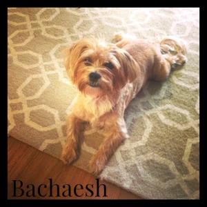 Bachaesh1