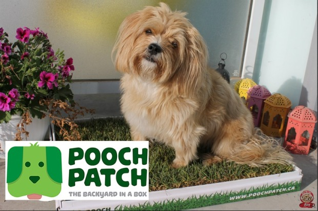Pooch patch, balcony dog, grass patch for pets, GTA dogs, COndo living with dogs, pee pads,